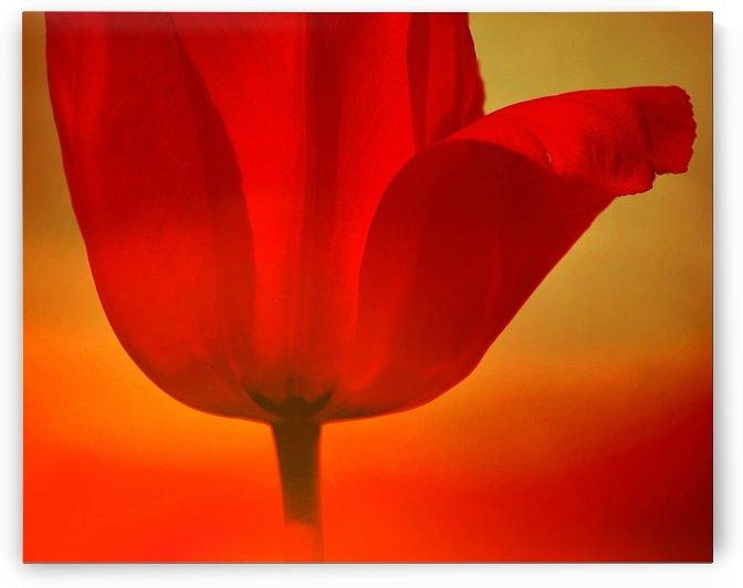Red Tulip  by Joan Han