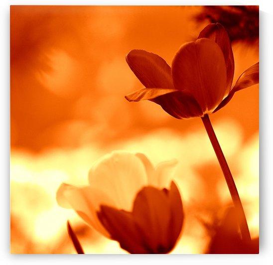 Tulips Orange by Joan Han