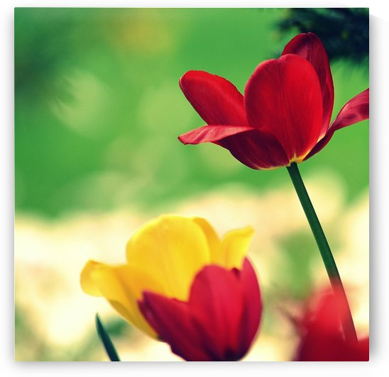Red and Yellow Tulips by Joan Han