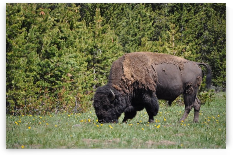 Buffalo grazing by Perspectives Photography by Katie Johnson