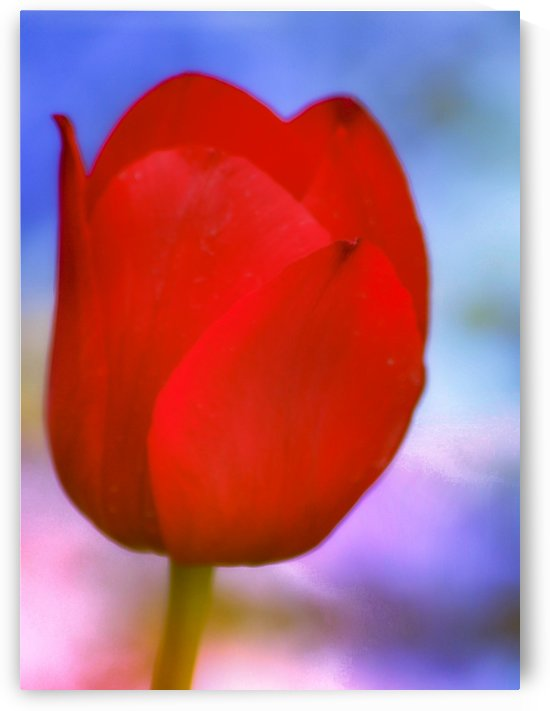 Red Tulip I  by Joan Han