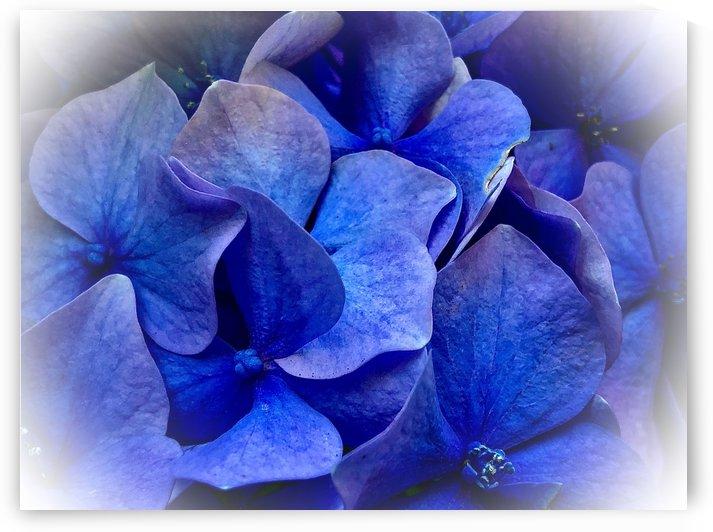 Baby Blue Hydrangea 200809 by BotanicalArt ca