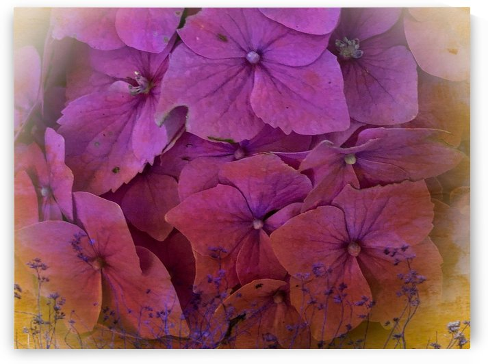 Pink Hydrangea 200709 by BotanicalArt ca
