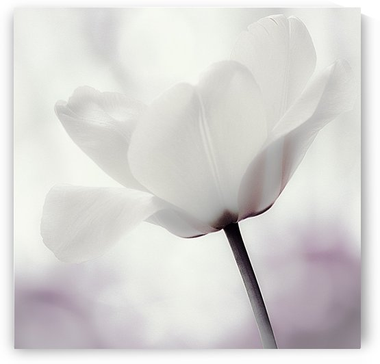 White Tulip by Joan Han