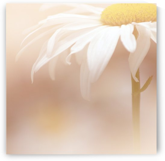 White Daisy Square by Joan Han