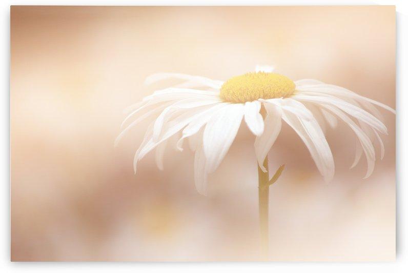White Daisy by Joan Han
