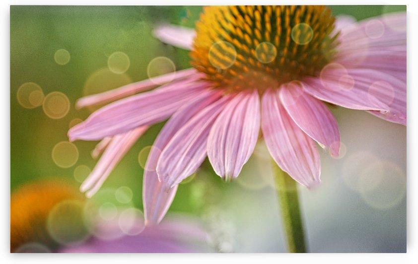 Pink Coneflower  by Joan Han