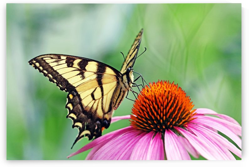 Canadian Tiger Swallowtail by Deb Oppermann