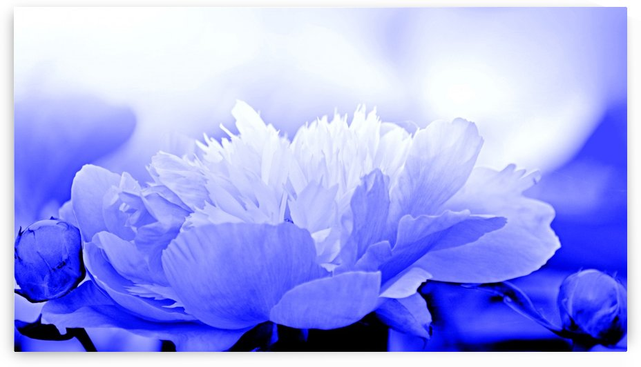 Heavenly Peony Blue by Joan Han