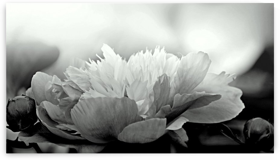 Heavenly Peony Black and White by Joan Han