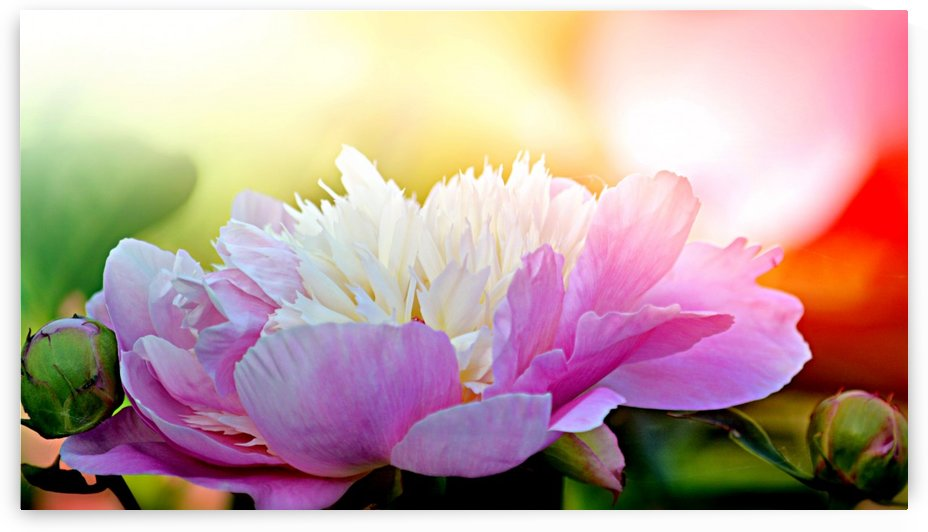 Heavenly Peony  Pink by Joan Han