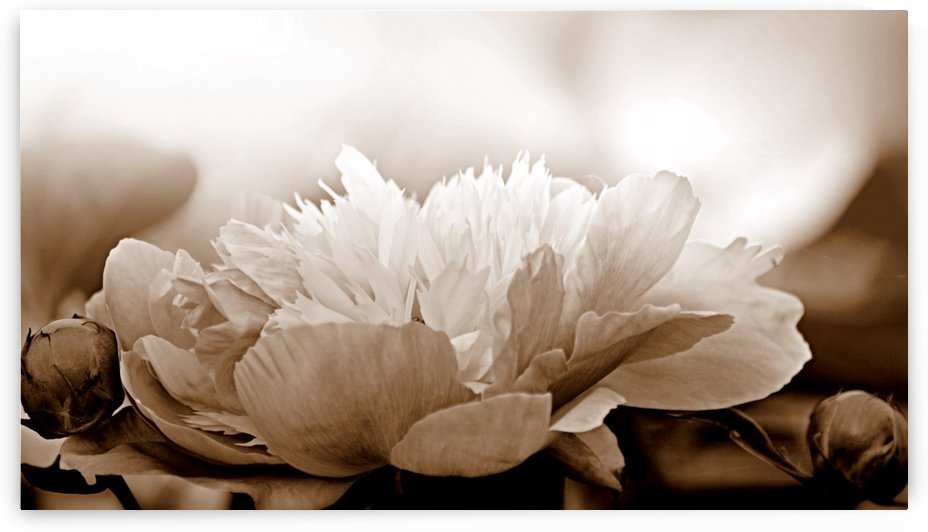 Heavenly Peony Sepia by Joan Han