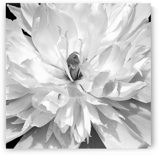 Peony Square Black and White by Joan Han