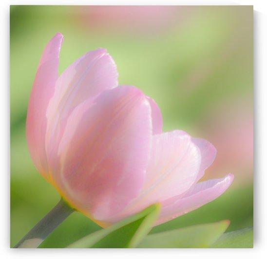 Pale Pink Tulip I by Joan Han