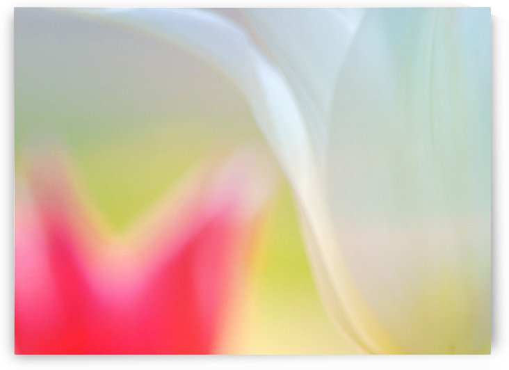 White and Pink Tulips  by Joan Han
