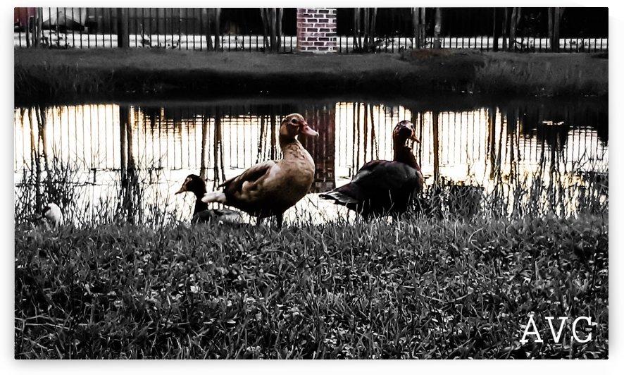 The Local Ducks by Angelina V Coronado