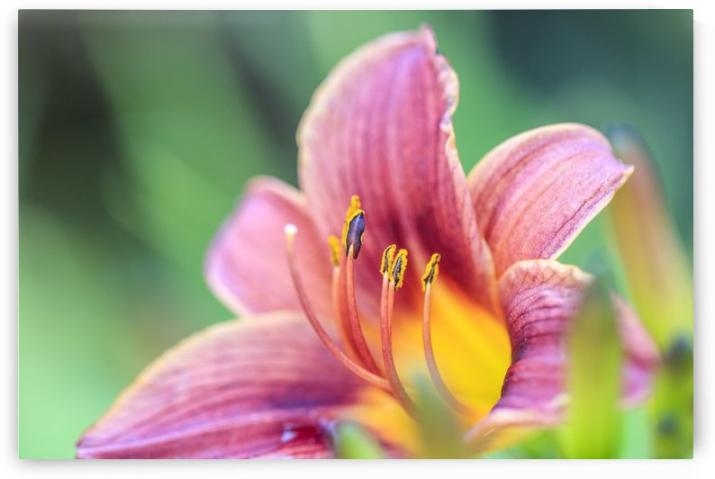 Pink & Yellow Flower on green background by Petrus Bester