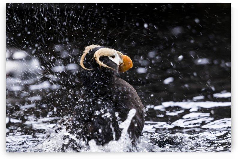 Alaskan Puffin by RCSFoto