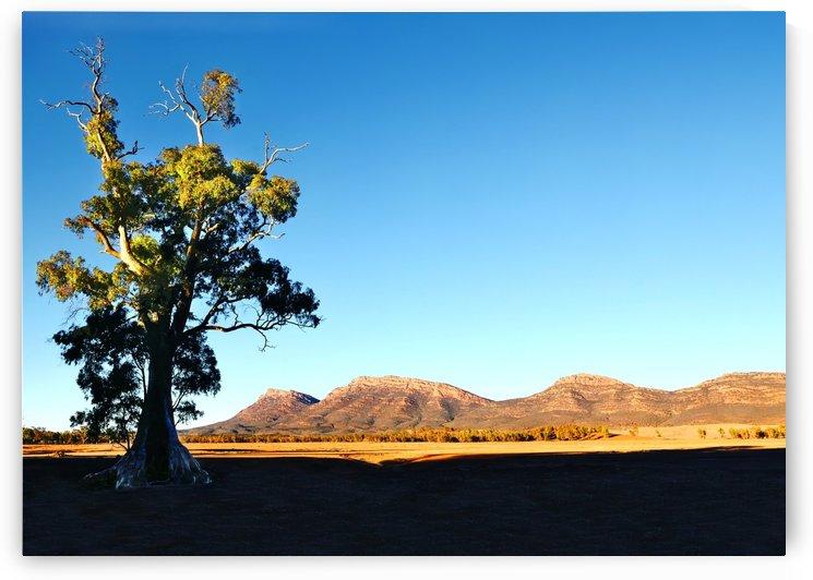 Morning Light on Cazneauxs Tree by Lexa Harpell