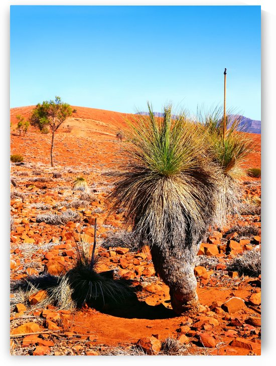 Grass Tree in the Outback by Lexa Harpell