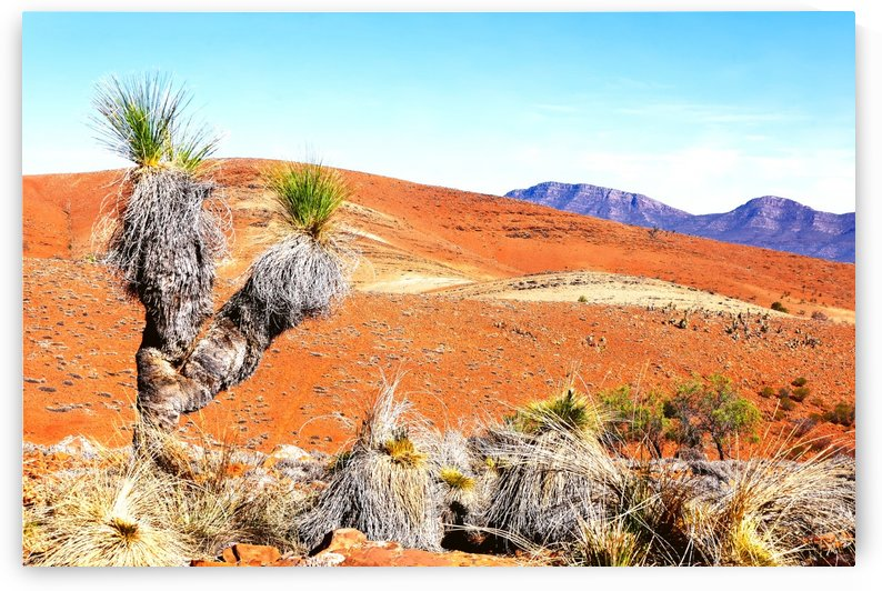 Grass Trees  in the Outback 2 by Lexa Harpell