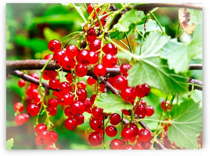 Redcurrants by Flodor