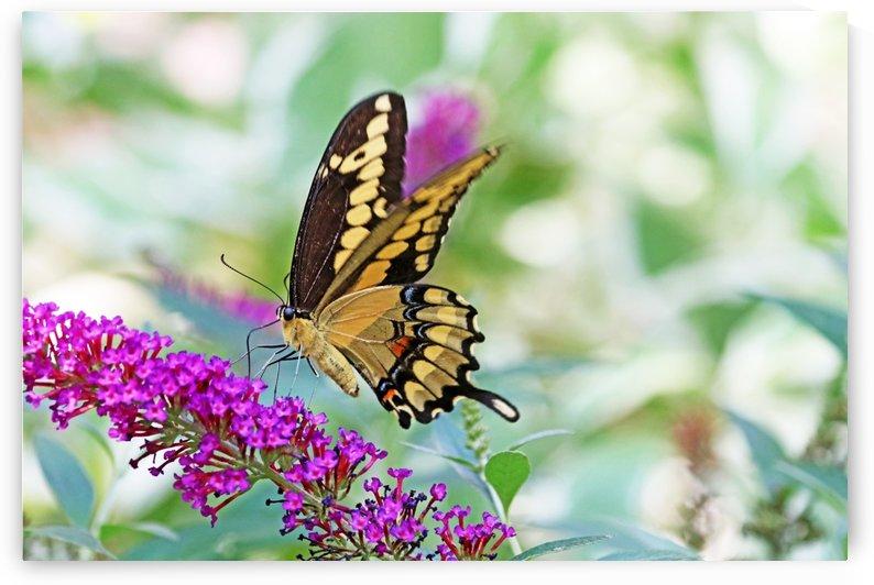 Giant Swallowtail Feeding On Buddleia by Deb Oppermann