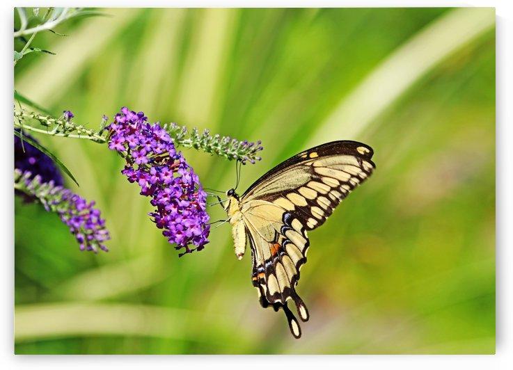 Giant Swallowtail On Butterfly Bush by Deb Oppermann