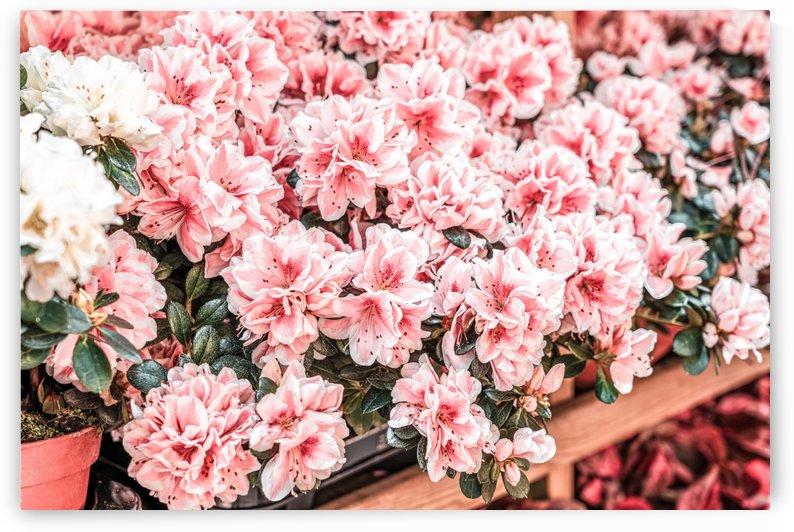 Pink Flowers Flowers Market Purple Flowers Pink Petals Floral Print Flora Print by Radu Bercan