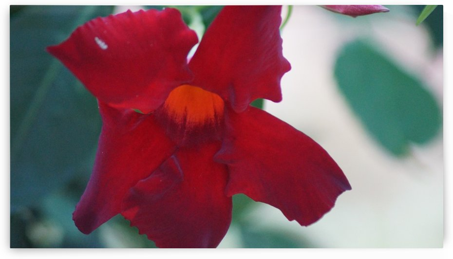 Red Flower by David Zimmerman