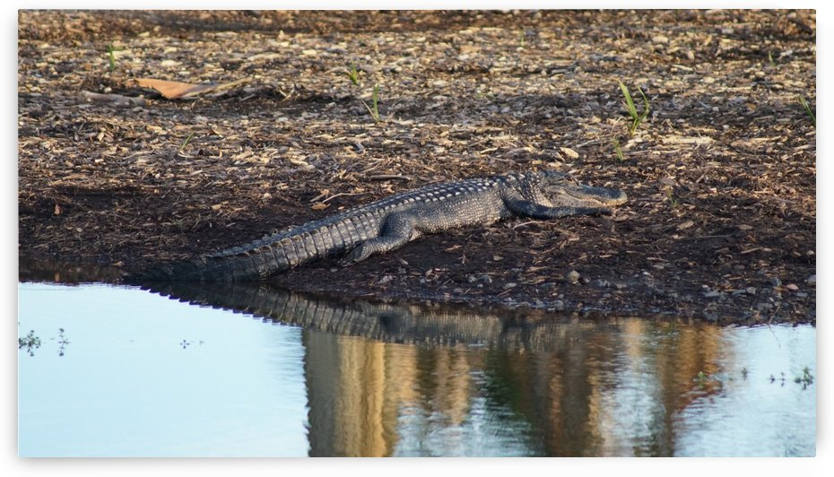 Alligator on the Shore by David Zimmerman