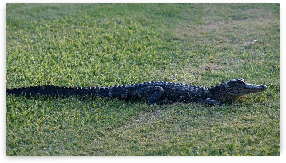 Alligator in Grass by David Zimmerman