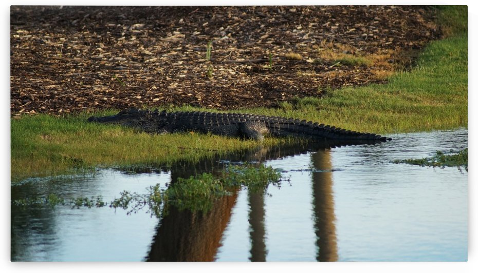 Alligator on the Waters Edge by David Zimmerman