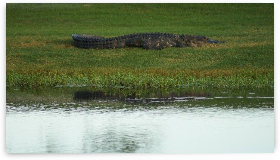 Alligator by David Zimmerman