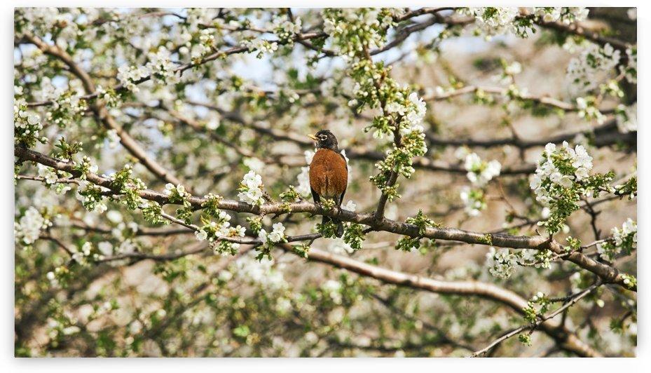 Robin Sitting on Branch by CarlosDoesPhoto