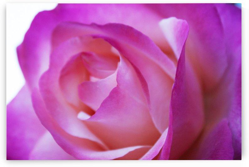 Pink Rose by Elizabeth Ardelt