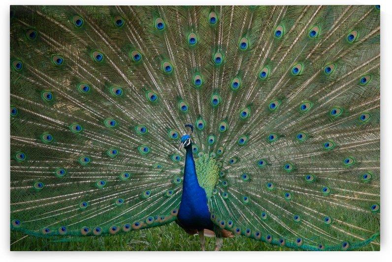 Peacock  by Morteza Golpoor