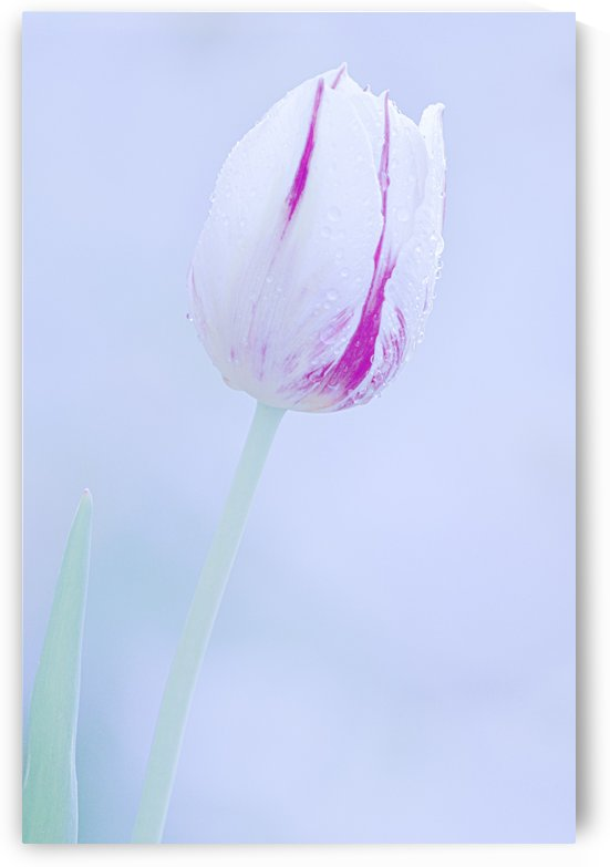 White and Purple Tulip by Joan Han
