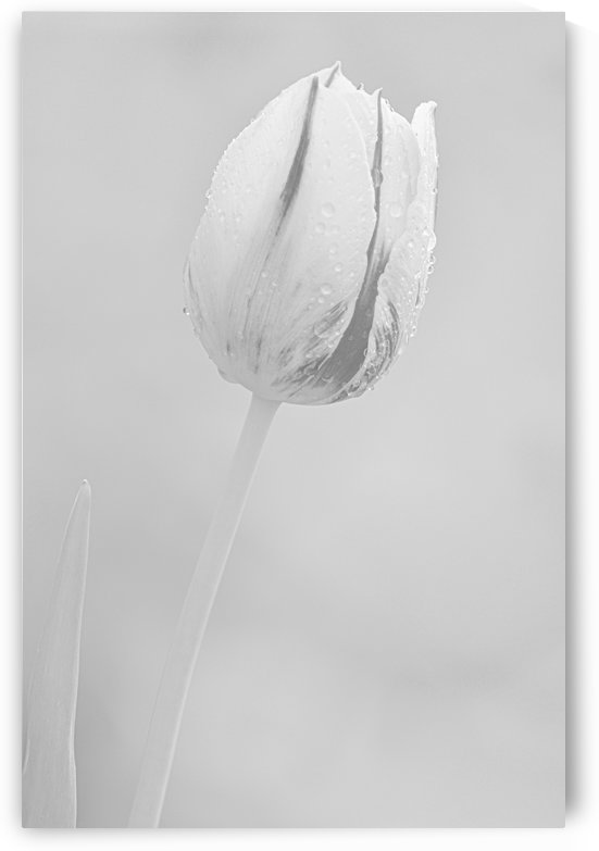 Tulip I Black and White by Joan Han