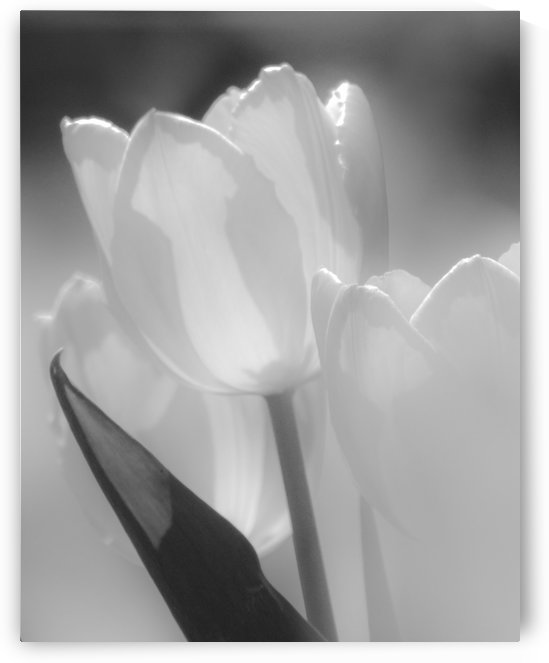 Tulips III Black and White  by Joan Han