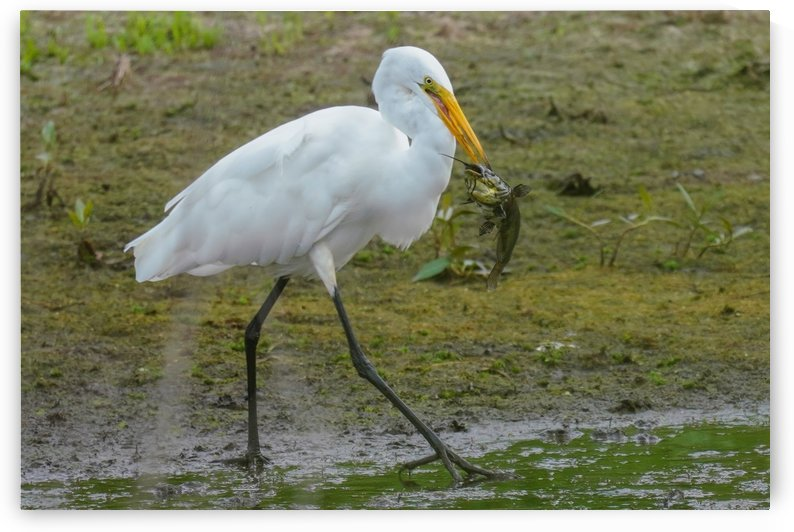 Egret Doing Lunch by James Radford