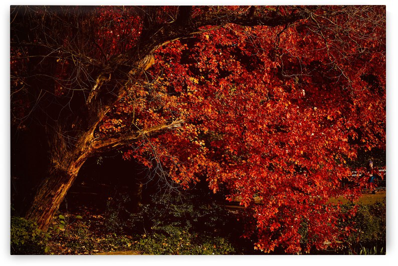 Maple Red ... NYC by Fred J Bivetto