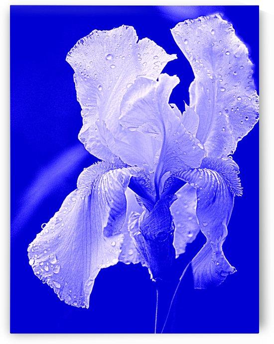 Iris Blue by Joan Han