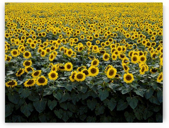 Field of sunflowers  by Winston Mauricio Casco Sobalvarro