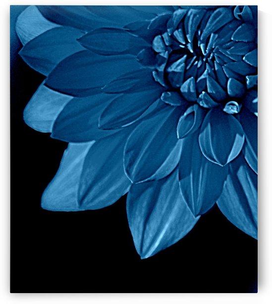 Dahlia Blue by Joan Han