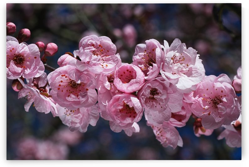 Soft Pink Blossom Display by Joy Watson