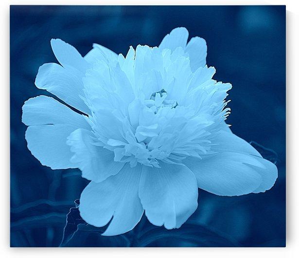White Peony IV on Aqua Blue by Joan Han