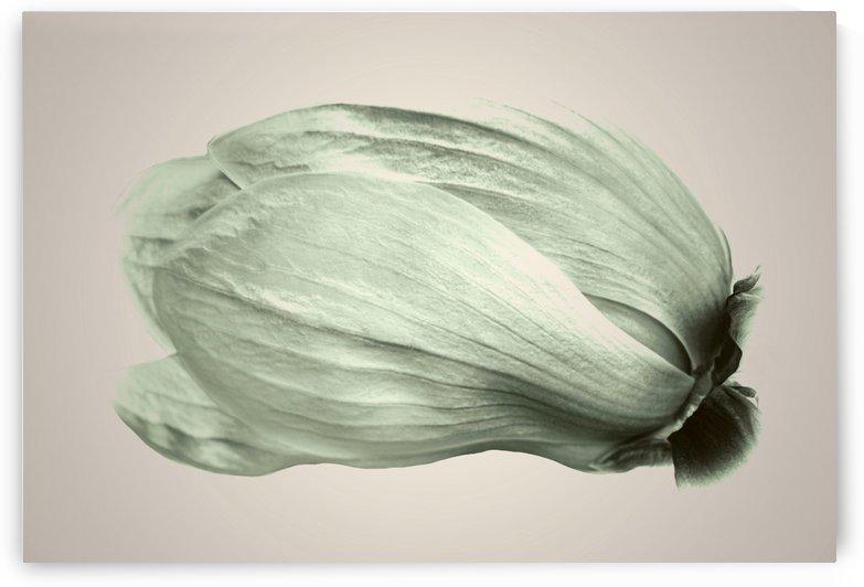 Magnolia Flower by Sebastian Schuster