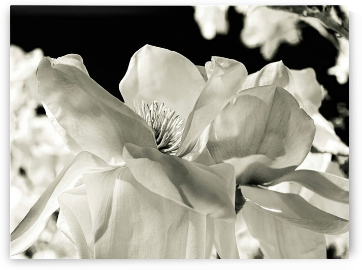 Magnolia by Sebastian Schuster