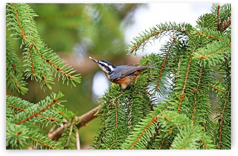 Red Breasted Nuthatch With Seed by Deb Oppermann